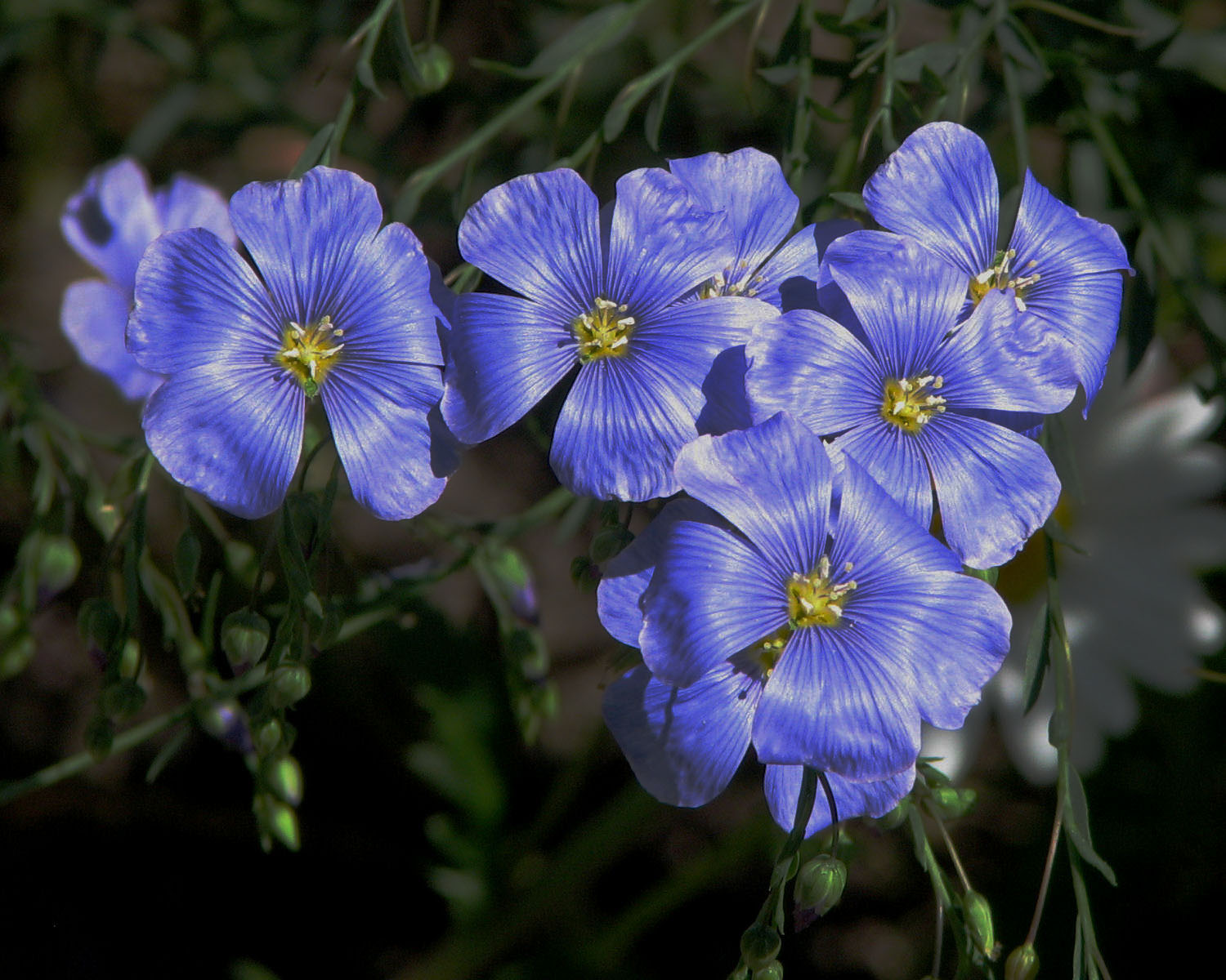 List of blue flowers 13 widescreen wallpaper hdflowerwallpaper download convert view source tagged on list of blue flowers izmirmasajfo