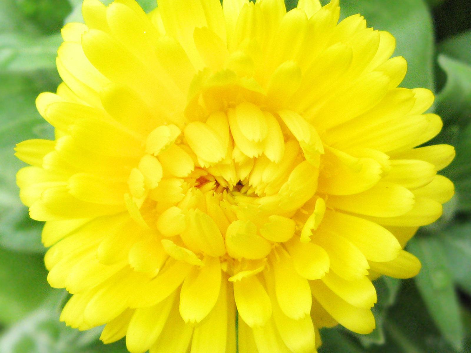 Yellow flowers 156 hd wallpaper hdflowerwallpaper yellow flowers free wallpaper mightylinksfo