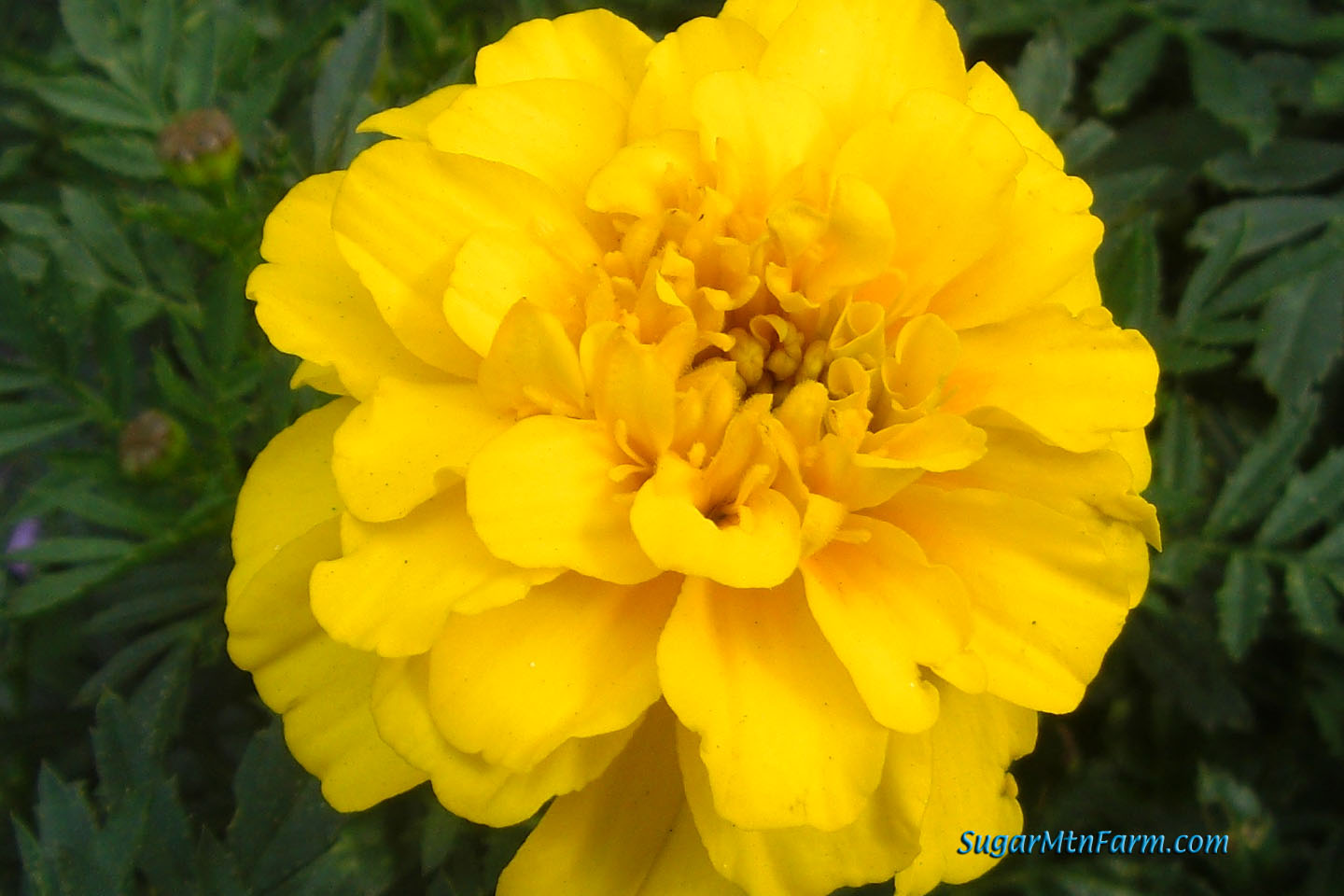 Yellow Flowers Names And Pictures Yellow Bell With Yellow