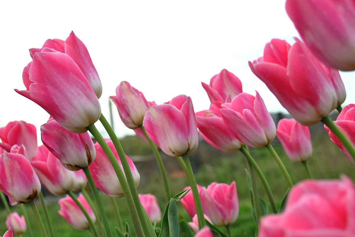 Pink Flowers And Their Meanings 9 Wide Wallpaper Hdflowerwallpaper