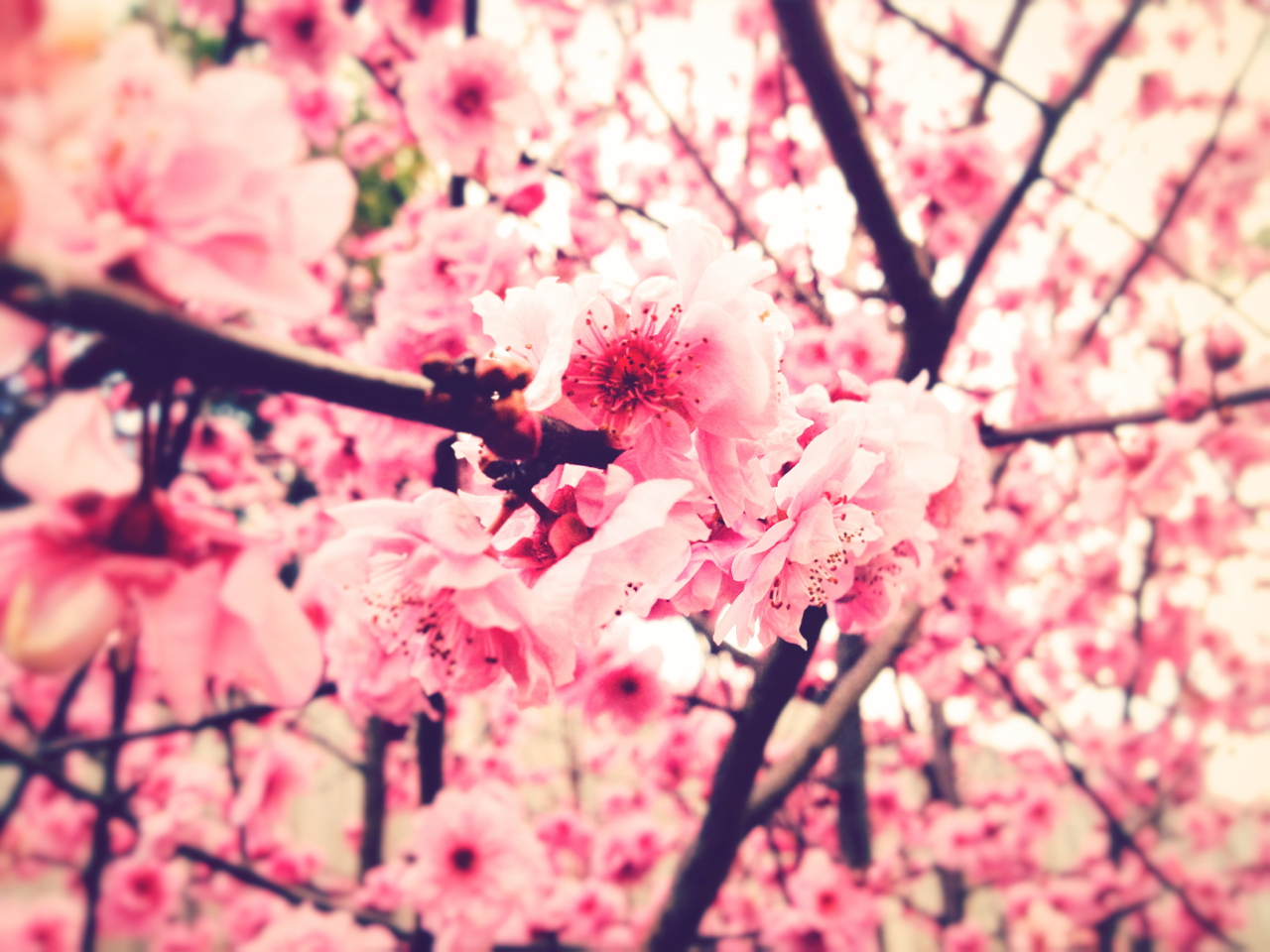 Tumblr Pink Flower Backgrounds