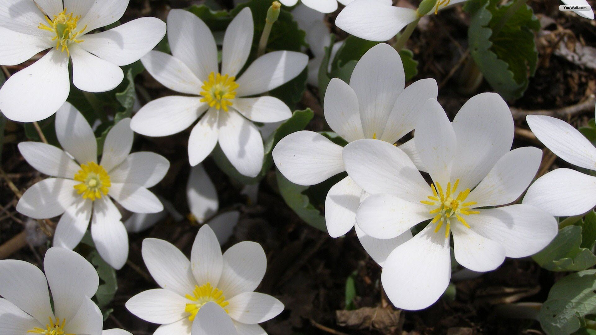 Pretty White Flowers 4 Free Wallpaper Hdflowerwallpaper