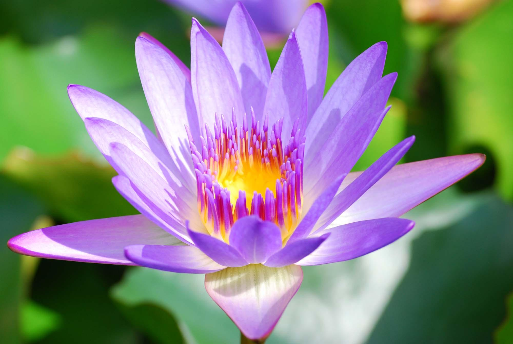 Meaning of purple lotus flower images flower decoration ideas purple flowers meaning 10 free hd wallpaper hdflowerwallpaper purple flowers meaning widescreen wallpaper mightylinksfo izmirmasajfo