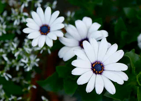 White flowers with black center 1 cool wallpaper hdflowerwallpaper white flowers with black center background mightylinksfo