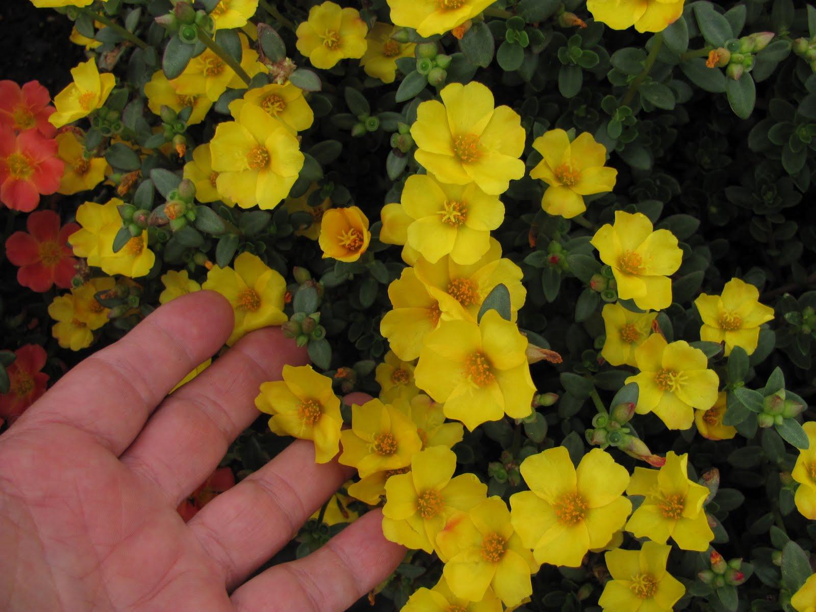 Yellow Flowers Annuals 23 Cool Hd Wallpaper Hdflowerwallpaper