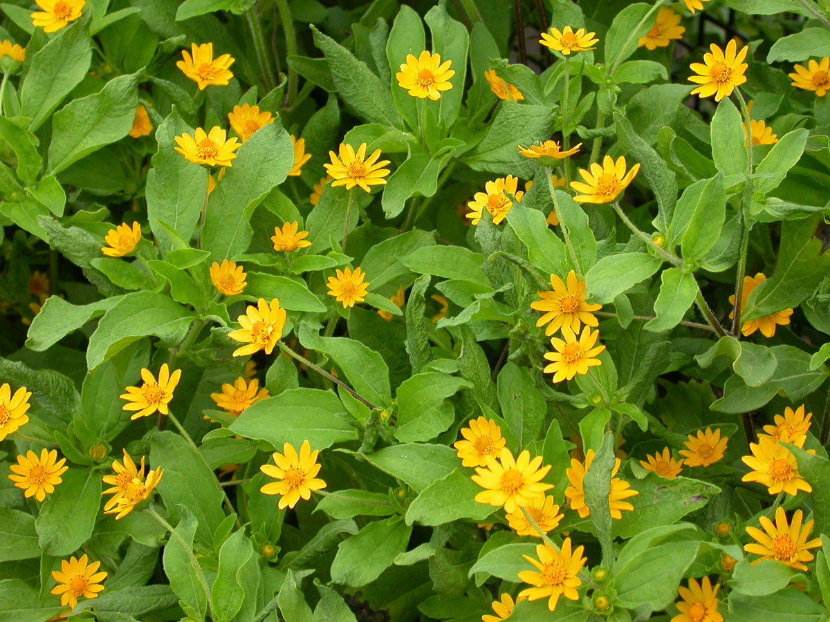 Yellow flowers annuals 34 hd wallpaper hdflowerwallpaper yellow flowers annuals free wallpaper izmirmasajfo Image collections