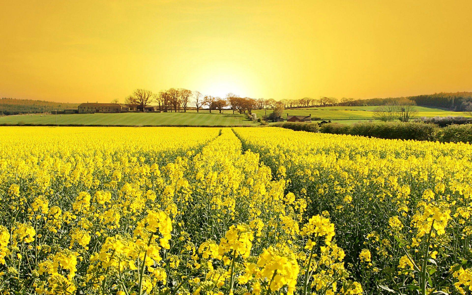 Yellow Flowers Available In May 29 Cool Hd Wallpaper