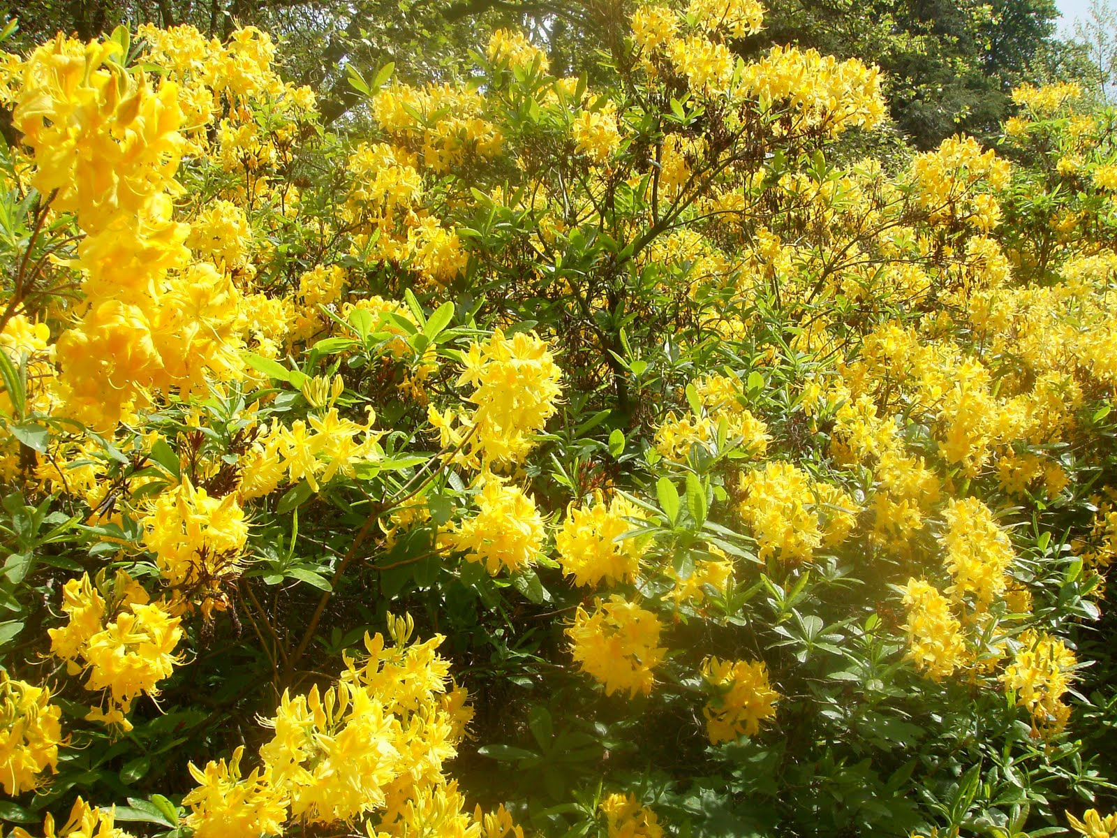Yellow flowers bushes 14 free wallpaper hdflowerwallpaper yellow flowers bushes free wallpaper mightylinksfo