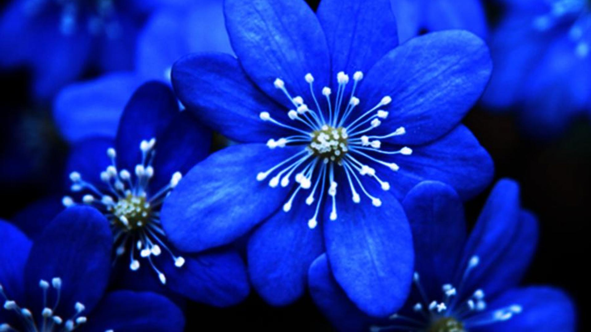 Blue Flowers Hd Wallpapers 28 Background Wallpaper