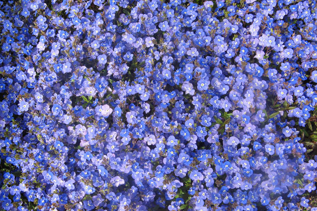 Blue flower ground cover perennial images flower decoration ideas blue flower ground cover perennial image collections flower blue flower ground cover perennial choice image flower mightylinksfo