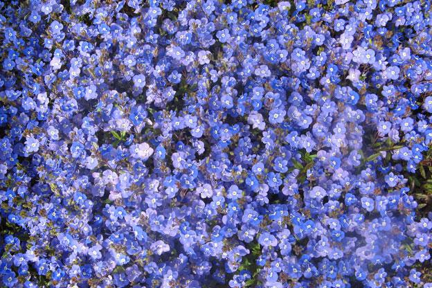 Blue flowers perennials 6 free hd wallpaper hdflowerwallpaper blue flowers perennials widescreen wallpaper mightylinksfo