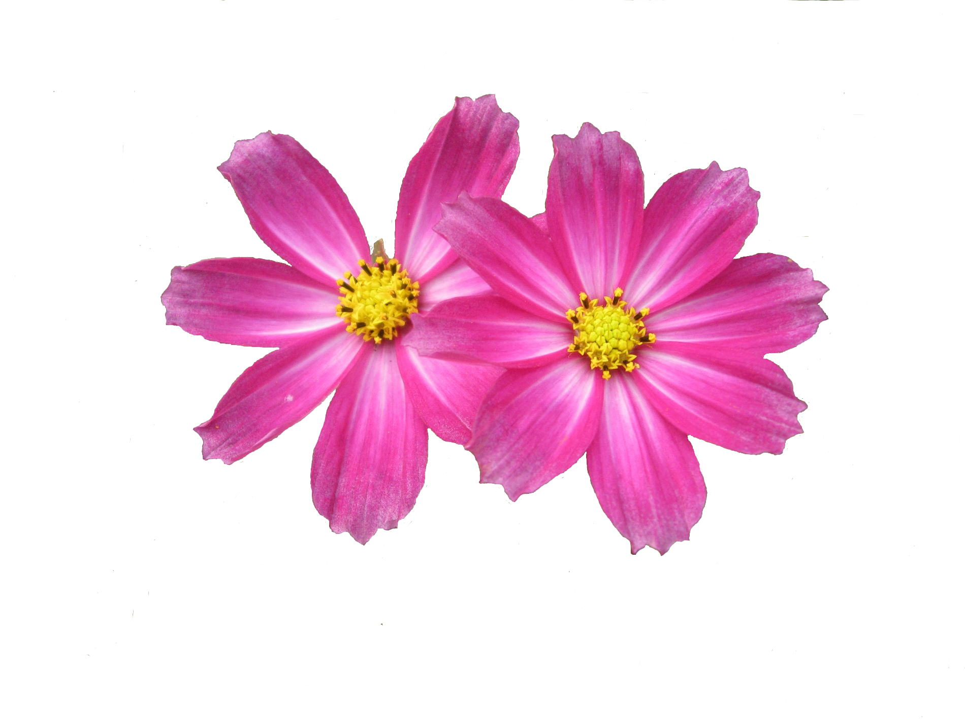 Pink flowers clipart 16 hd wallpaper hdflowerwallpaper pink flowers clipart free wallpaper mightylinksfo Image collections