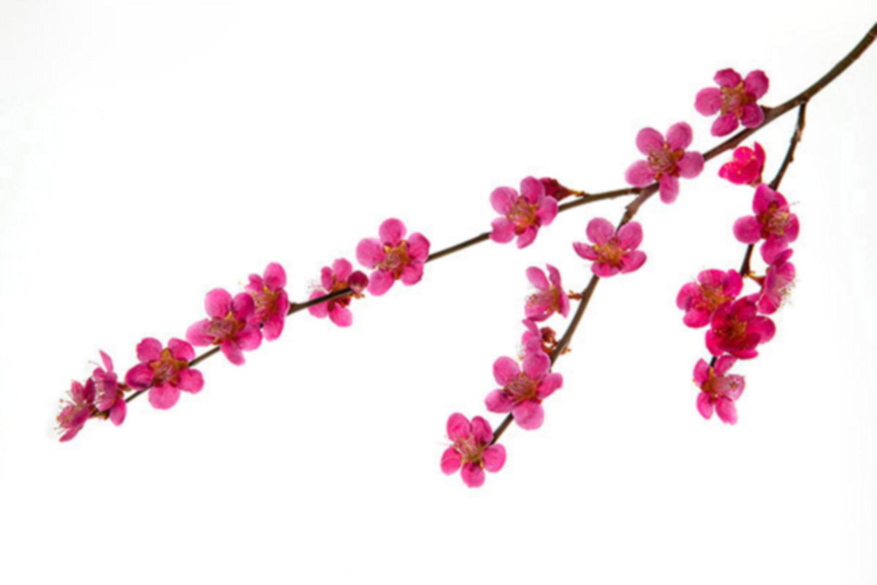 Pink flowers drawing 25 desktop background hdflowerwallpaper pink flowers drawing 25 desktop background mightylinksfo
