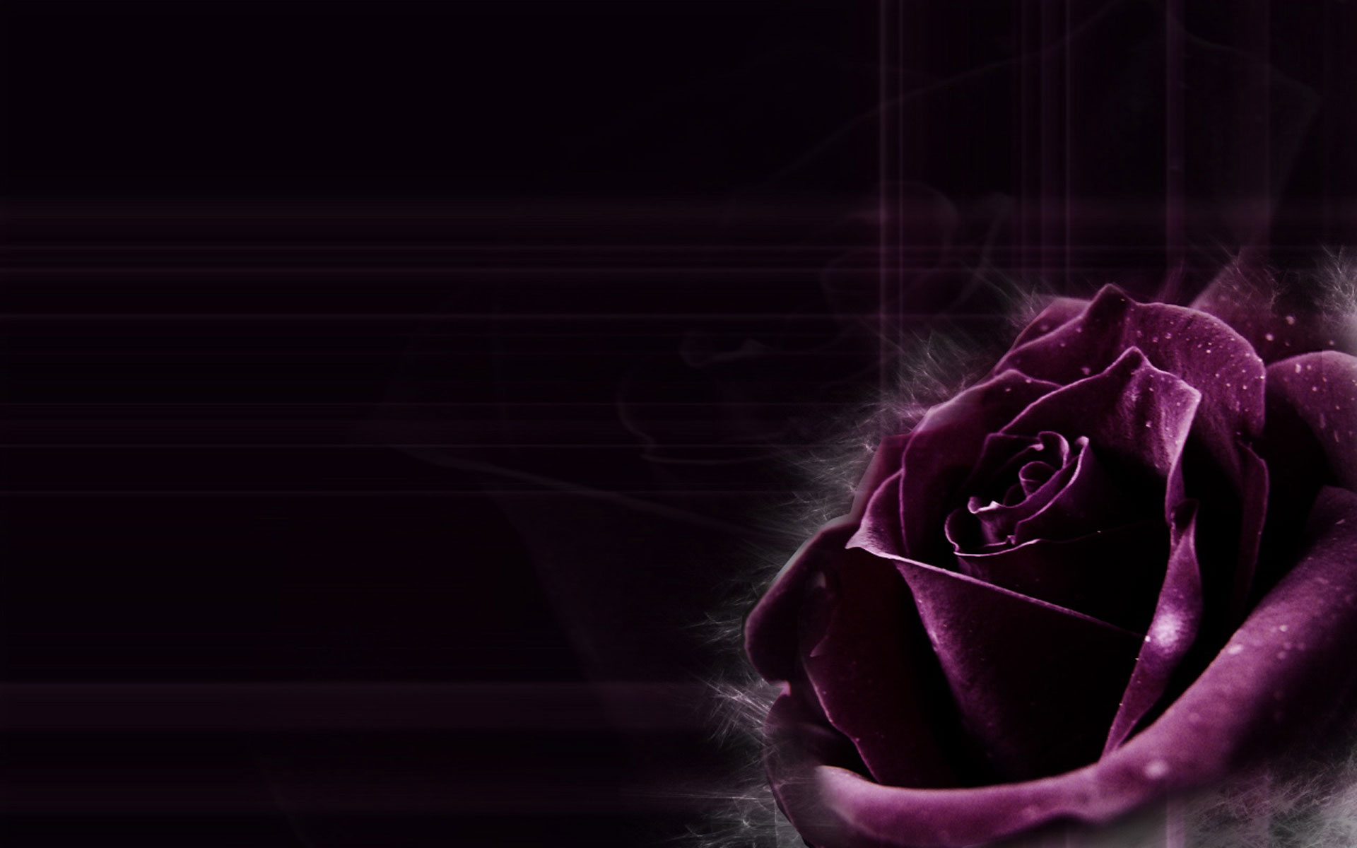 Purple roses wallpaper 15 hd wallpaper for Can you get purple roses
