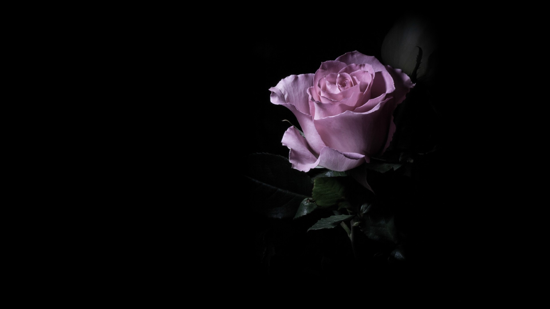 Purple roses wallpaper 22 cool hd wallpaper for Can you get purple roses