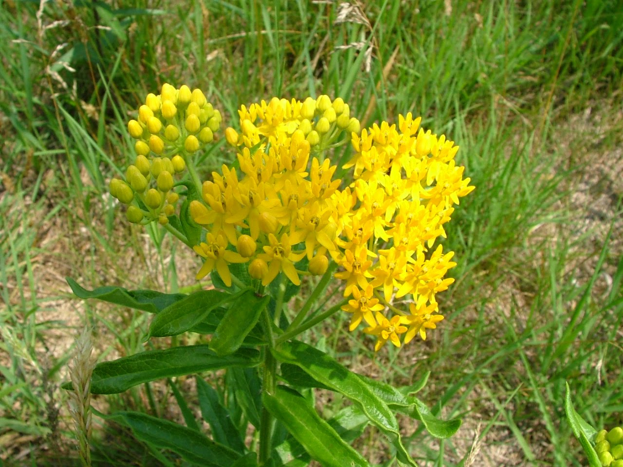 Weed with yellow flowers 34 cool hd wallpaper hdflowerwallpaper weed with yellow flowers free wallpaper mightylinksfo