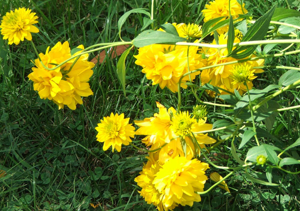 Yellow flower perennial 1 free wallpaper hdflowerwallpaper yellow flower perennial free wallpaper mightylinksfo