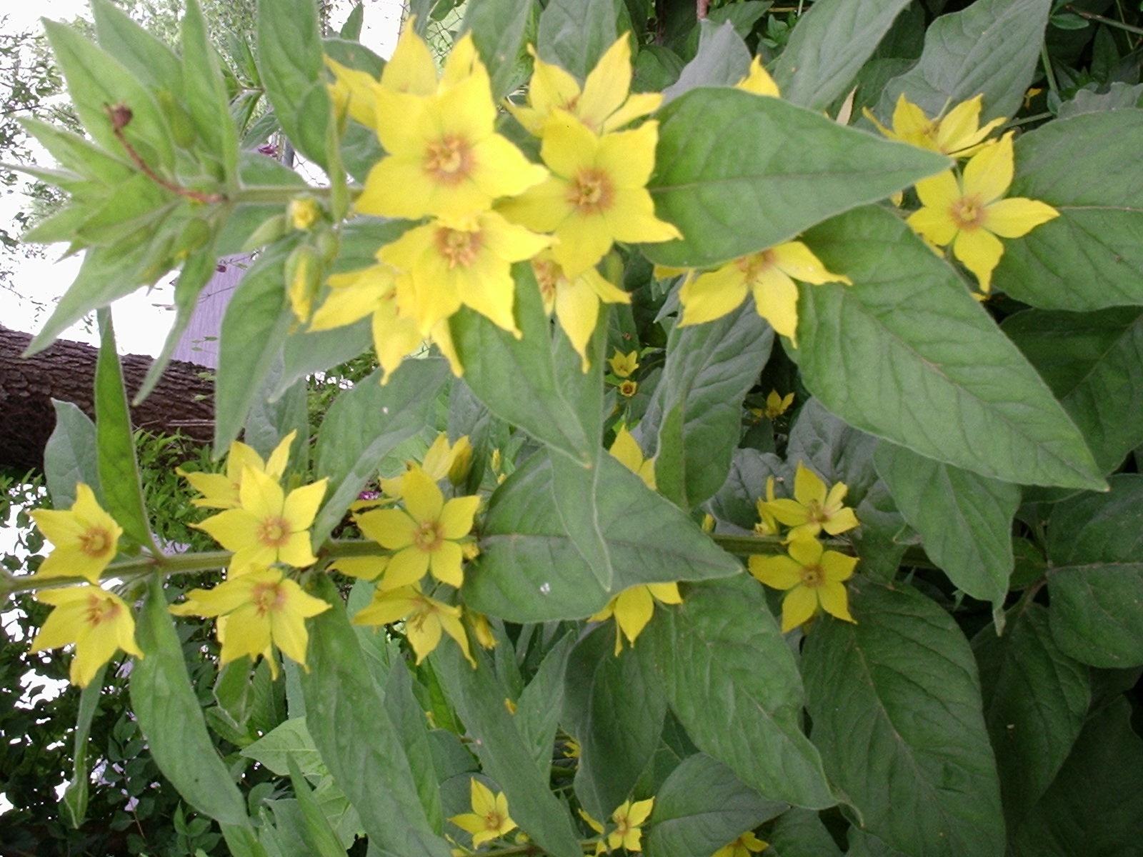 Tall yellow perennial flowers gallery fresh lotus flowers yellow flowering perennials choice image flower decoration ideas mightylinksfo
