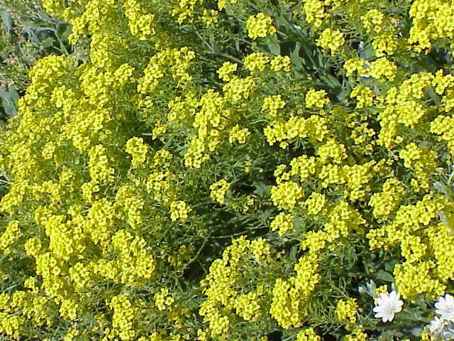 Yellow flower perennial 5 free wallpaper hdflowerwallpaper yellow flower perennial free wallpaper mightylinksfo