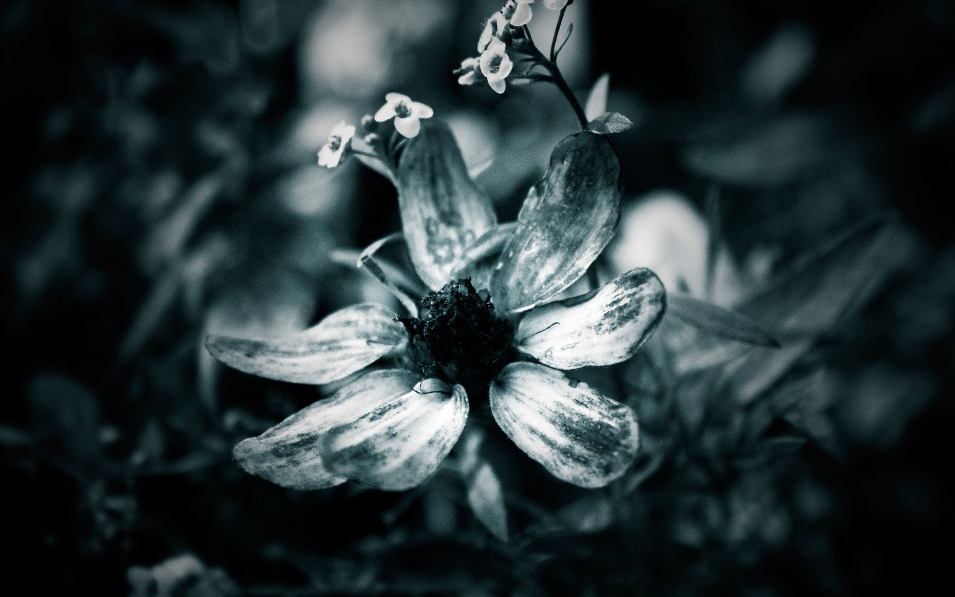Black Flowers In Nature 17 Cool Wallpaper