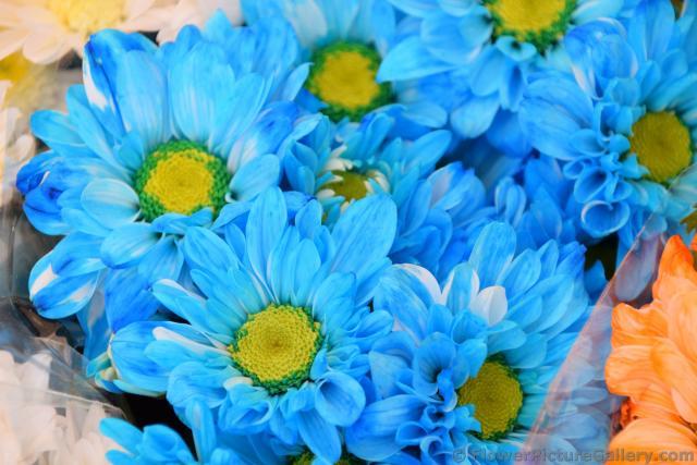 Blue yellow flowers 5 widescreen wallpaper hdflowerwallpaper blue yellow flowers desktop background mightylinksfo