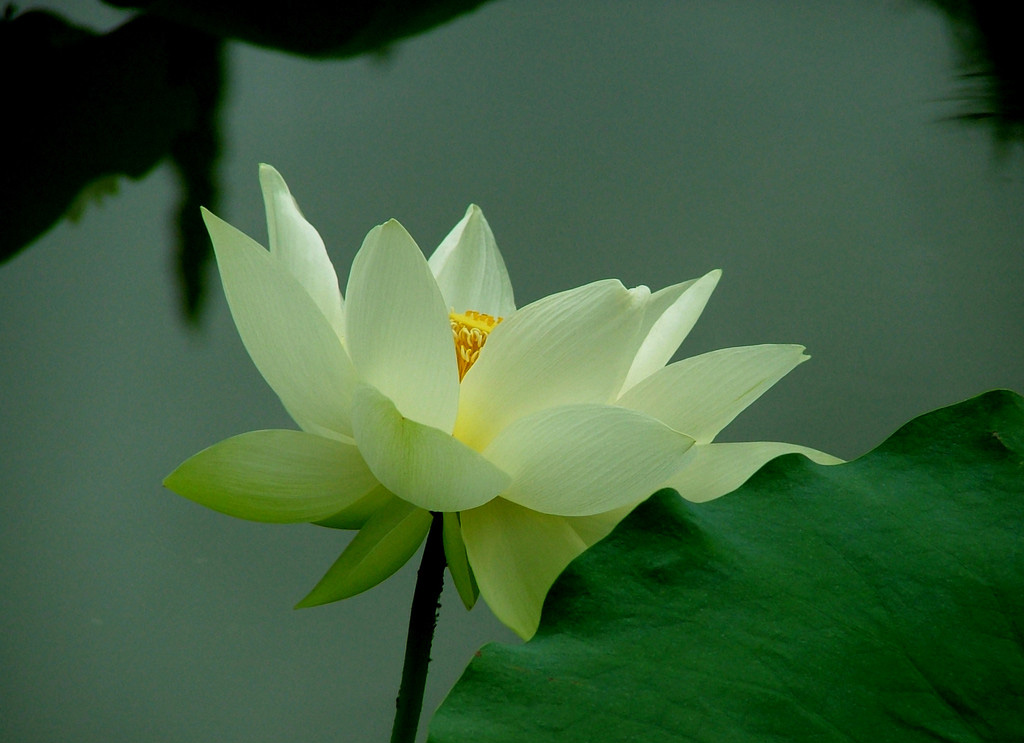 Green Lotus Flower Flowers Ideas For Review