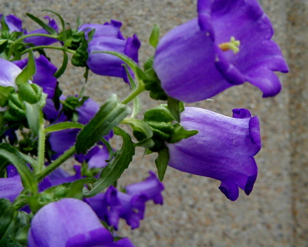 Purple bellflowers 8 background hdflowerwallpaper purple bellflowers wide wallpaper mightylinksfo