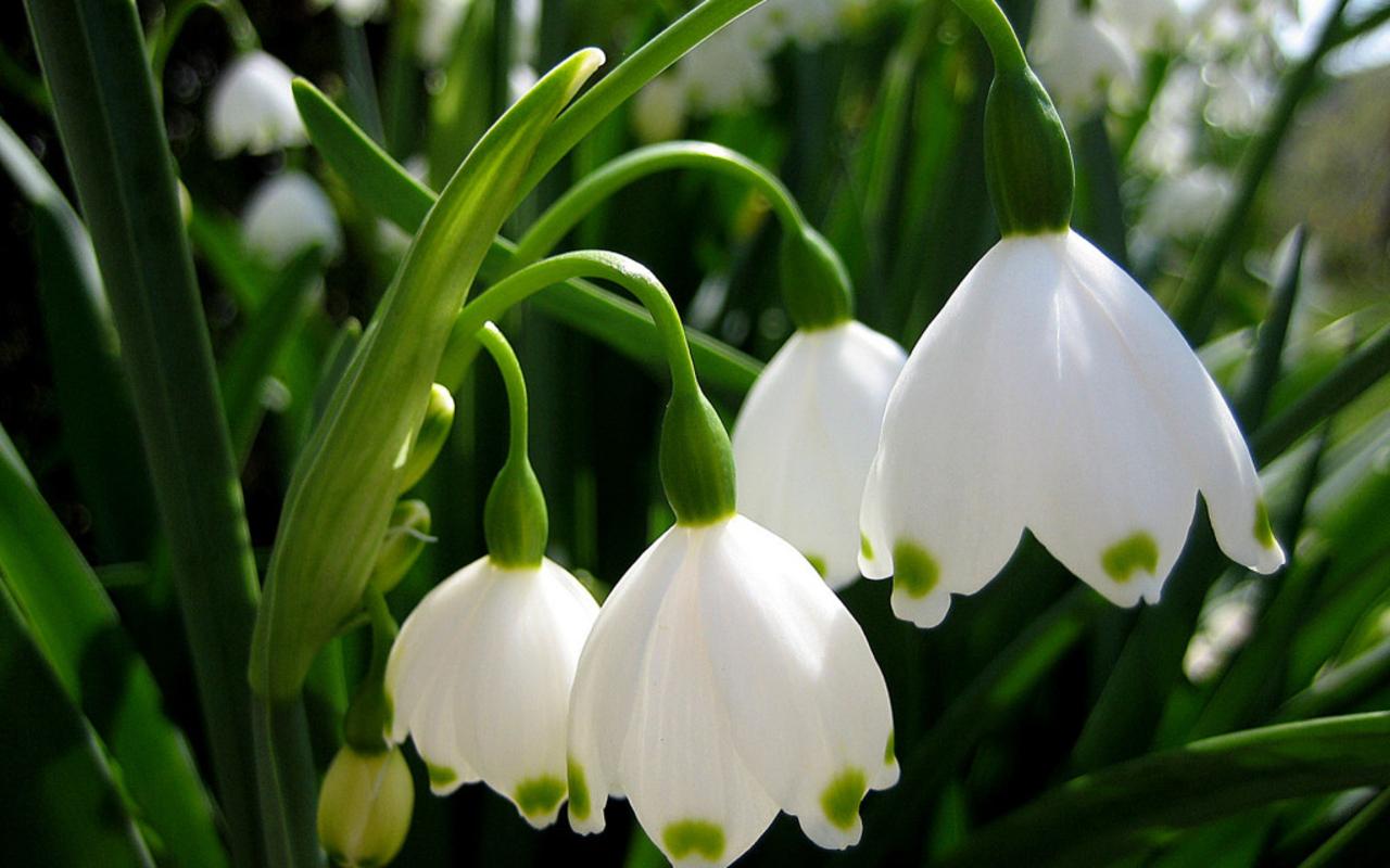 White bells flowers choice image flower decoration ideas white bells flowers image collections flower decoration ideas white bells flowers image collections flower decoration ideas mightylinksfo