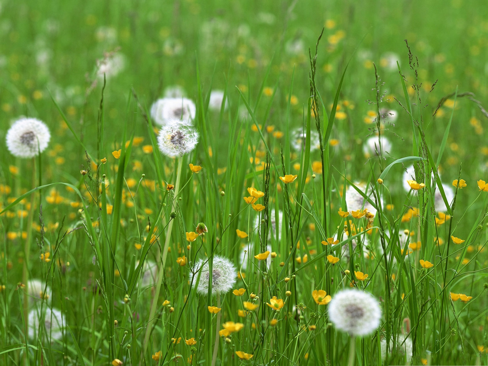 White flowers in grass 20 free wallpaper hdflowerwallpaper white flowers in grass free wallpaper mightylinksfo