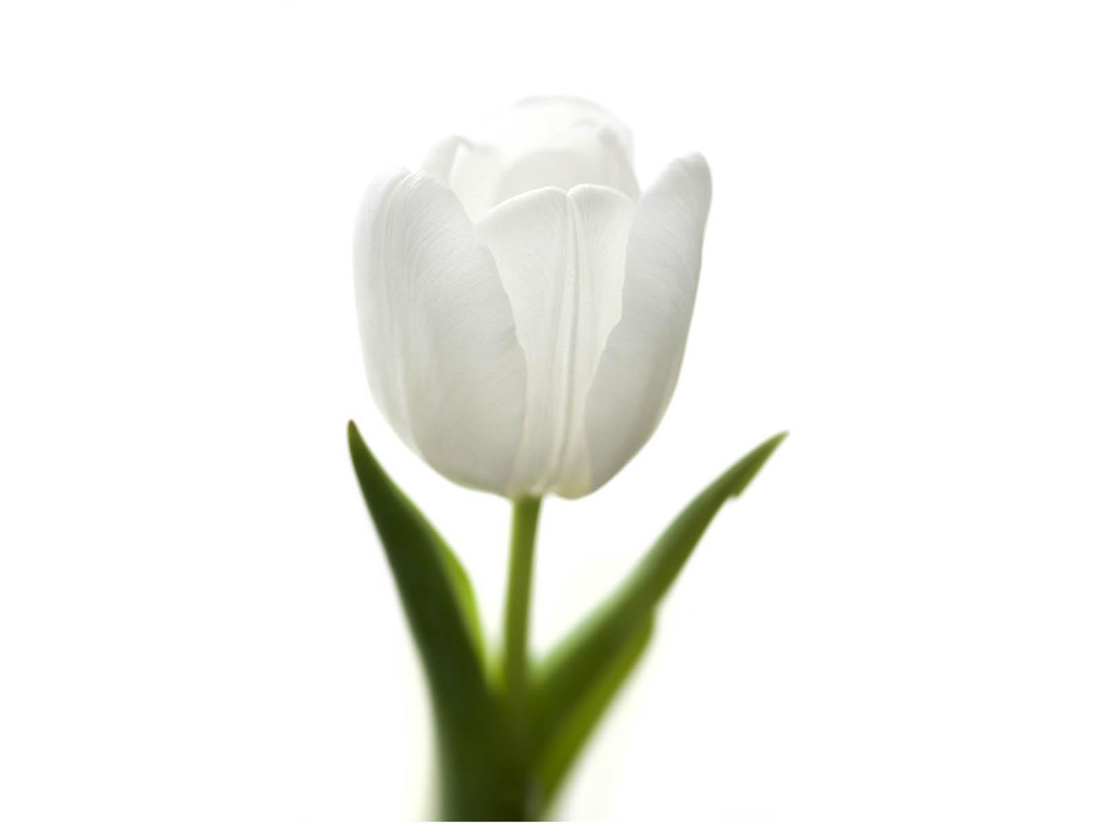 White Tulips 19 High Resolution Wallpaper Hdflowerwallpaper