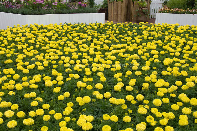 Yellow Flowers For Garden Free Wallpaper