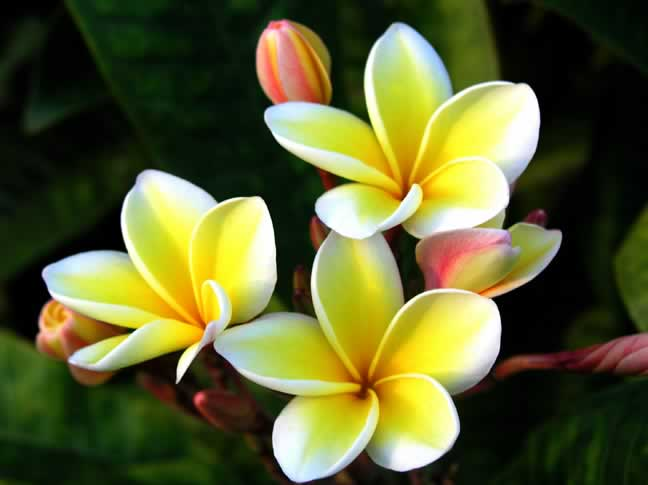 Yellow flowers hawaii 7 desktop background hdflowerwallpaper yellow flowers hawaii free wallpaper mightylinksfo