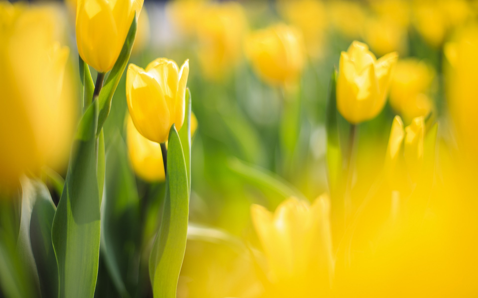 Yellow Flowers In Spring HD Wallpaper