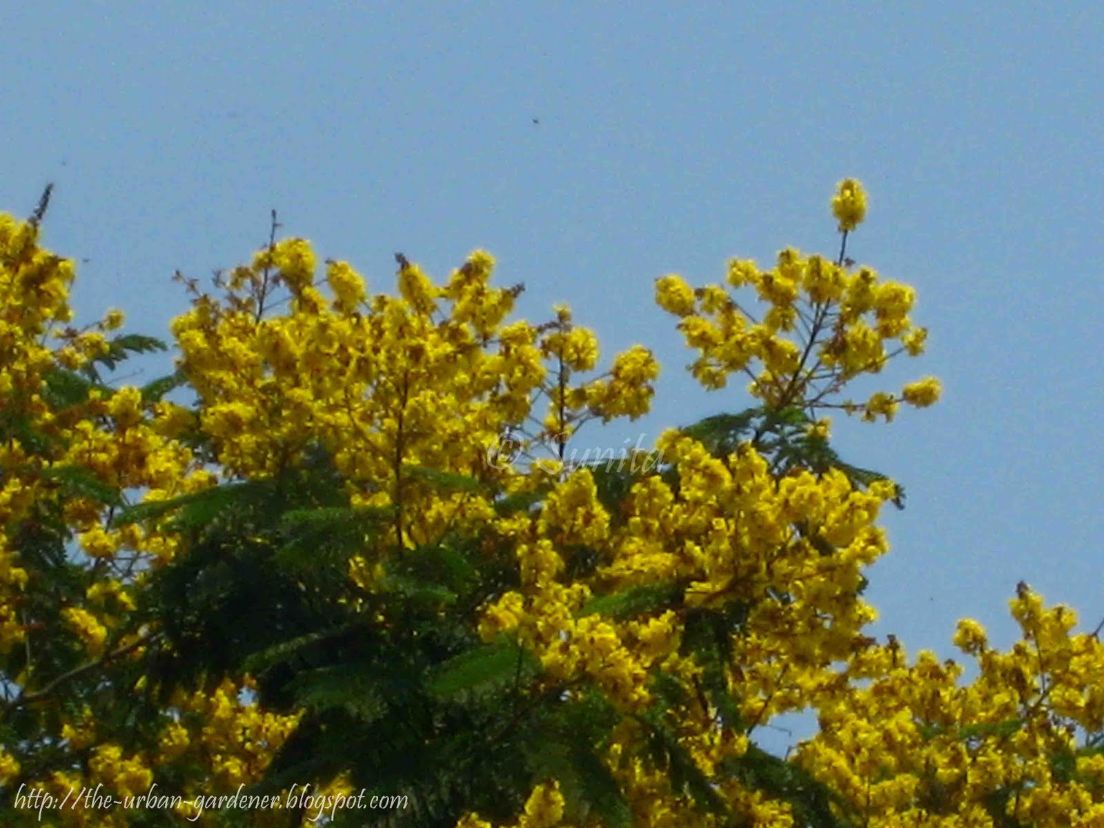 Yellow Flowering Tree Image Home Garden And Tree Rtecx