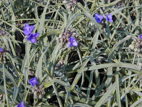 Purple flowers perennials 16 wide wallpaper hdflowerwallpaper purple flowers perennials wide wallpaper mightylinksfo
