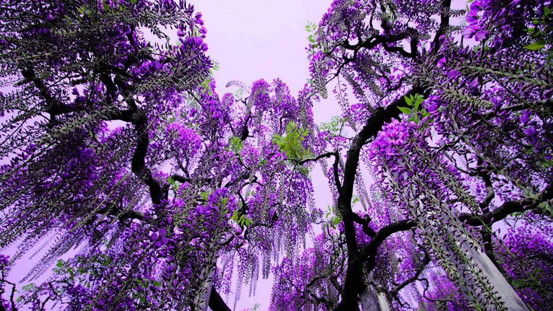 Purple Flowers Tree 3 Background - HdFlowerWallpaper.com