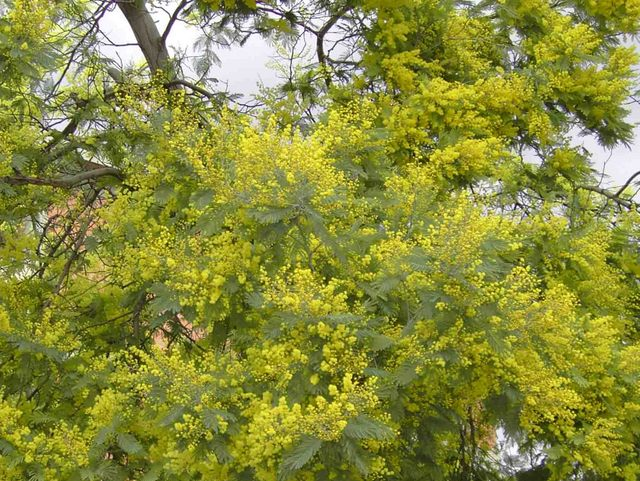 Tree yellow flowers uk 11 cool hd wallpaper hdflowerwallpaper tree yellow flowers uk free wallpaper mightylinksfo