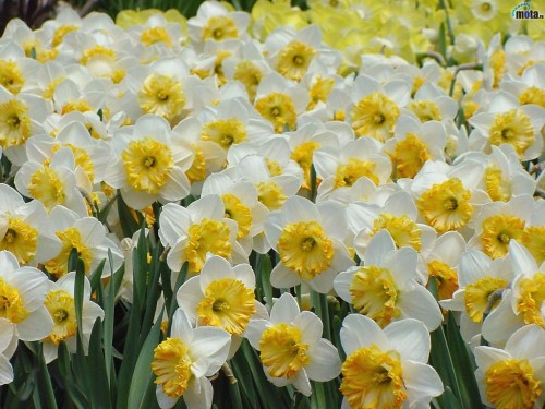 White yellow flowers 1 wide wallpaper hdflowerwallpaper white yellow flowers free wallpaper mightylinksfo