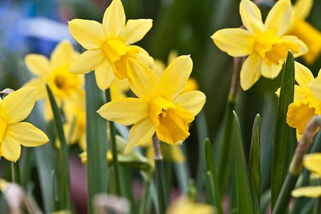 Yellow spring flowers uk 34 widescreen wallpaper hdflowerwallpaper yellow spring flowers uk hd wallpaper mightylinksfo