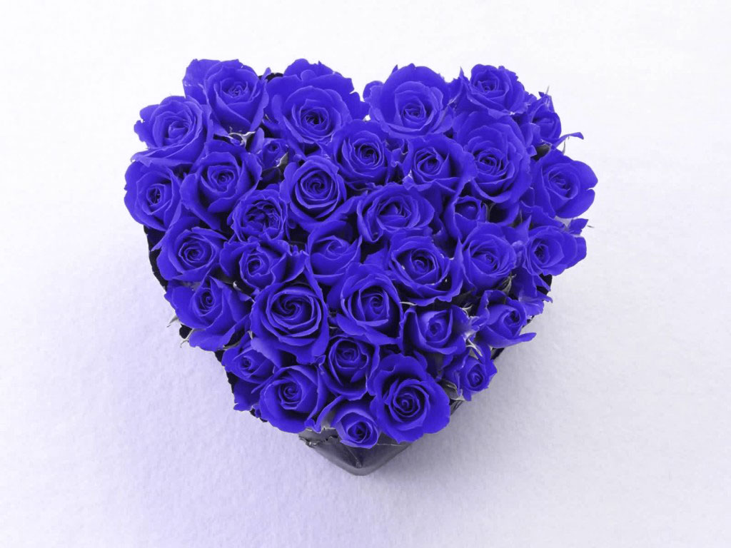 blue rose wallpaper 62 cool hd wallpaper - hdflowerwallpaper