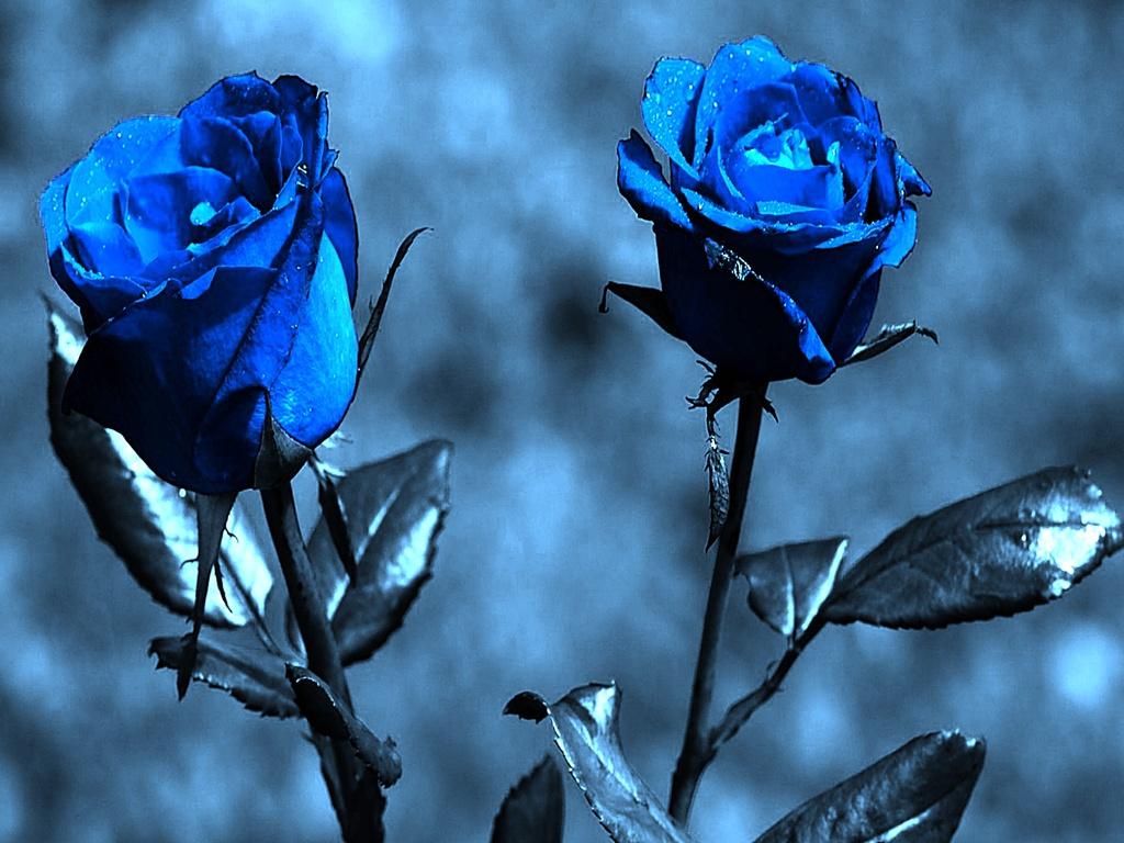 Most Inspiring Wallpaper Love Blue - blue-rose-wallpaper-for-desktop-1-desktop-wallpaper  Graphic_738430.jpg
