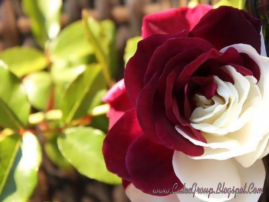 Off White Rose Desktop Wallpaper 12 Background Wallpaper