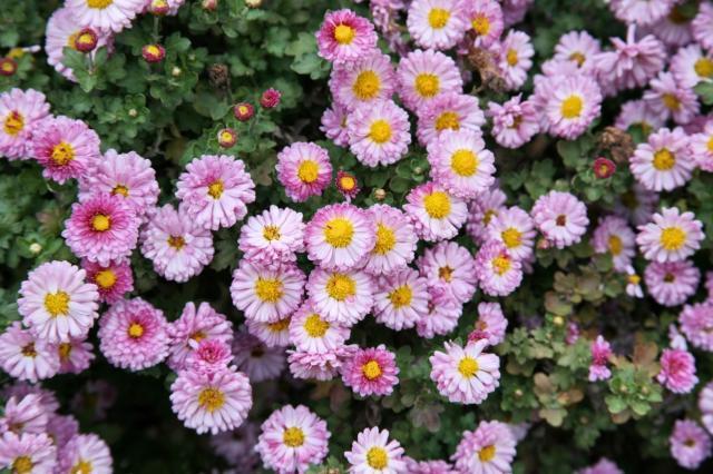 Types of pink flowers 18 free wallpaper hdflowerwallpaper types of pink flowers hd wallpaper mightylinksfo