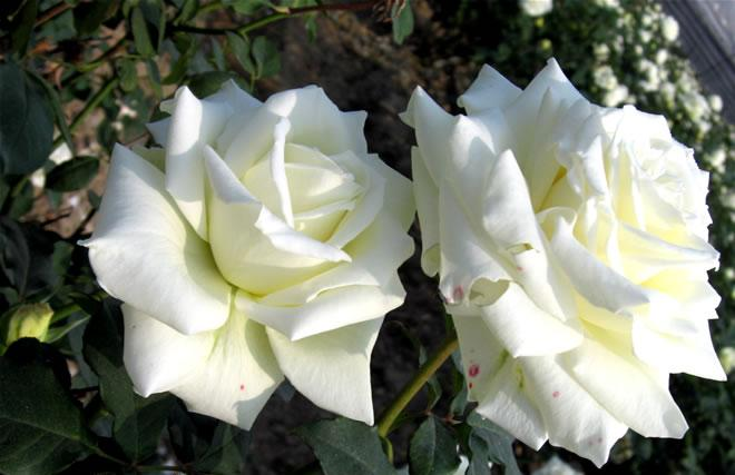 White rose flower images 16 cool hd wallpaper hdflowerwallpaper white rose flower images free wallpaper mightylinksfo